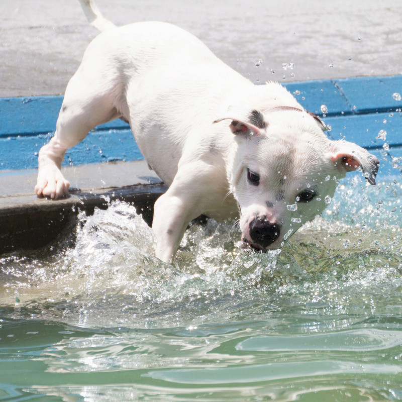So staffies don't like water, eh? 13495_11