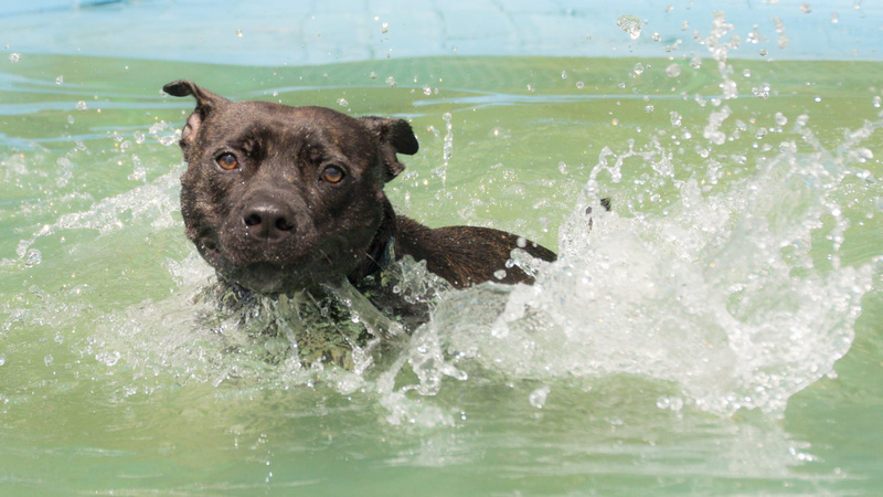 So staffies don't like water, eh? Monty10