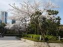 La Floraison des cerisiers au Japon - Sakura Zensen 20170419