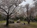 La Floraison des cerisiers au Japon - Sakura Zensen 20170420
