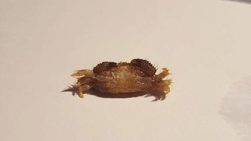 Crabe nuisible ou pas ? 17021410