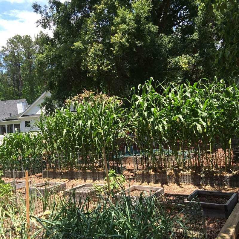 corn - growing corn - Page 4 Corn_016
