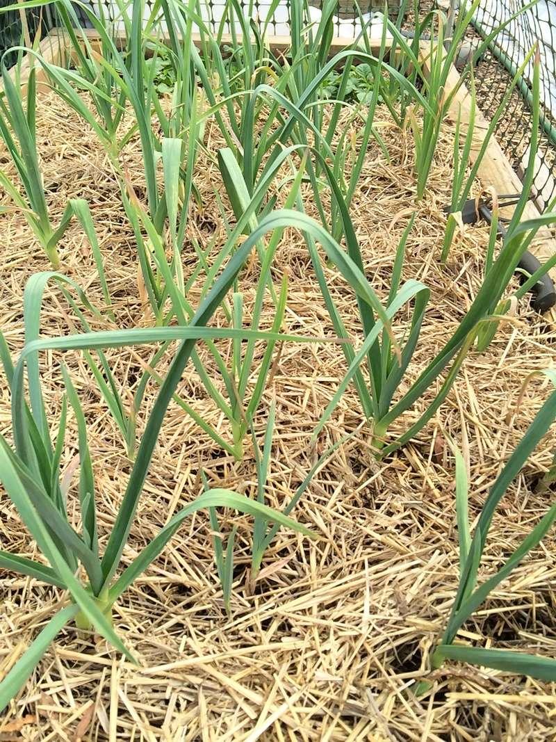 2017 SFG in Brooks, Ga - Page 2 Garlic10