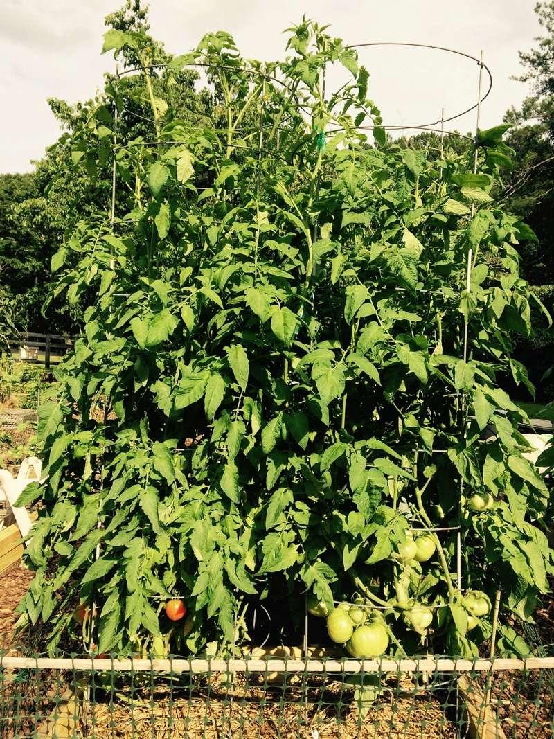 2017 SFG in Brooks, Ga - Page 5 Tomato26