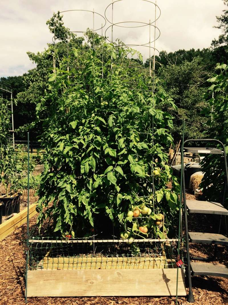 2017 SFG in Brooks, Ga - Page 5 Tomato27