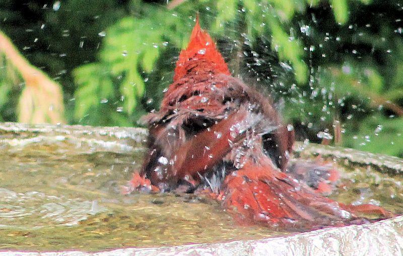Mon ami le Cardinal rouge complètement trempé! Cardin10
