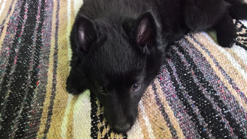 Les tribulations d'un petit loup noir. Wp_20110