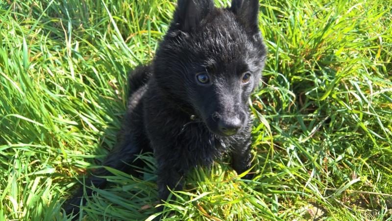 Les tribulations d'un petit loup noir. Wp_20113