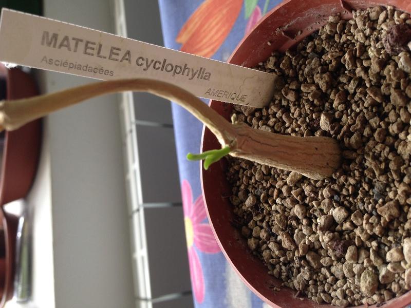 Matelea cyclophylla - Page 2 Img_1910