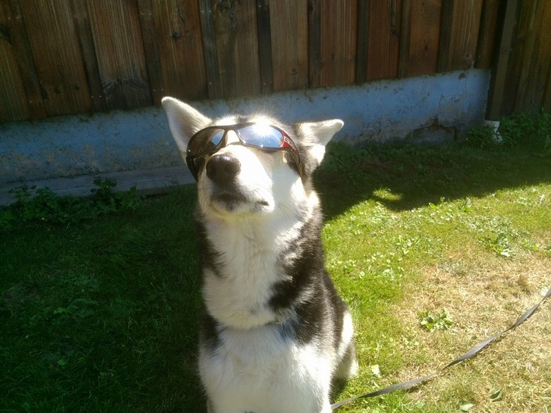 When you realize you'll never be as cool as your Husky! 14449810