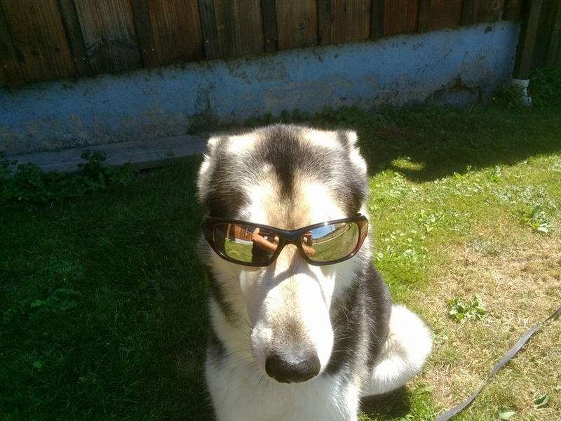 When you realize you'll never be as cool as your Husky! 14470610