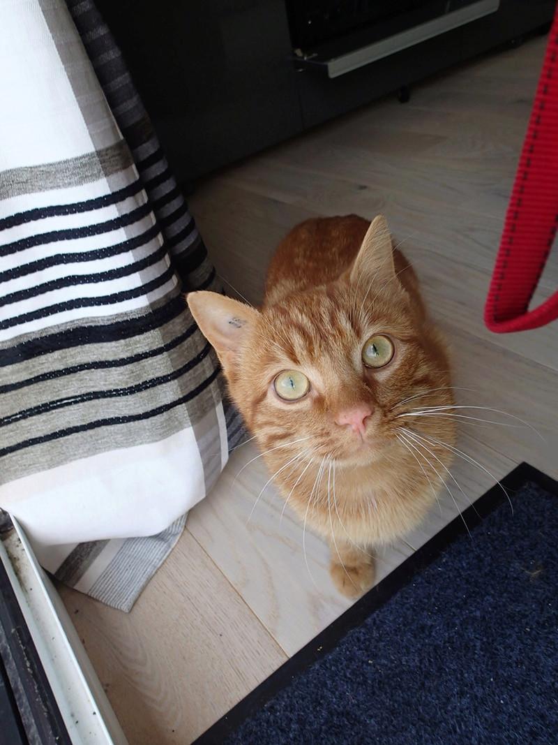 Kirikou - KIRIKOU, mâle roux tigré, né en avril 2016 P4010110