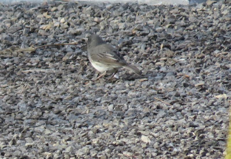 Petit oiseau vu 2017-049