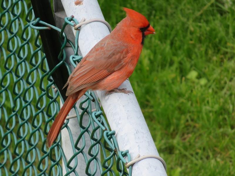 Mon ami, le Cardinal 2017-107