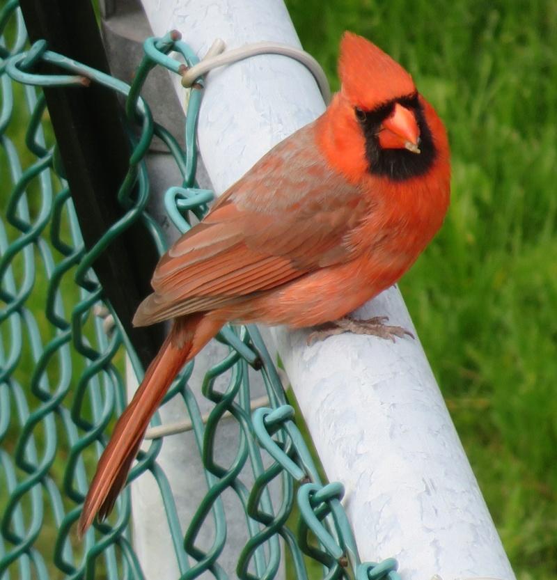 Mon ami, le Cardinal 2017-108