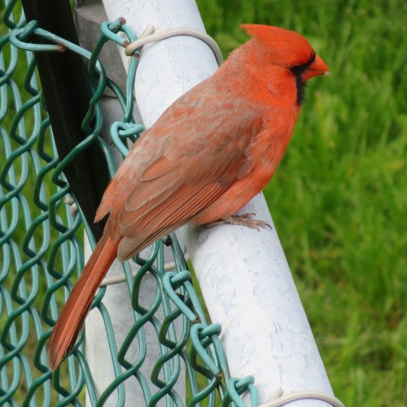 Mon ami, le Cardinal 2017-109