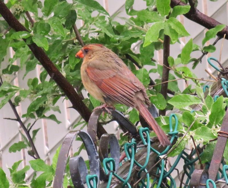 Cardinal femelle  2017-120
