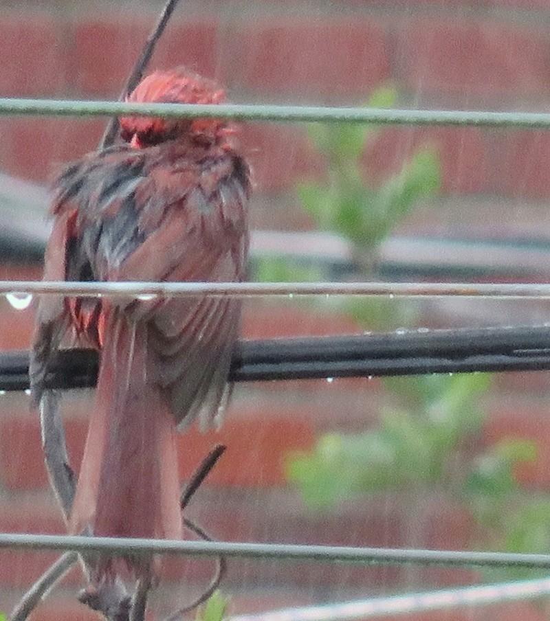 Mon ami le Cardinal rouge complètement trempé! 2017-137