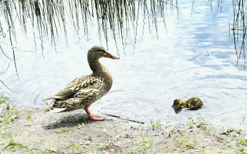 Maman canard colvert et bébé 2017-153