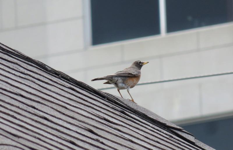 Merle d'Amérique vu sur un toit d'un triplex  2017-160