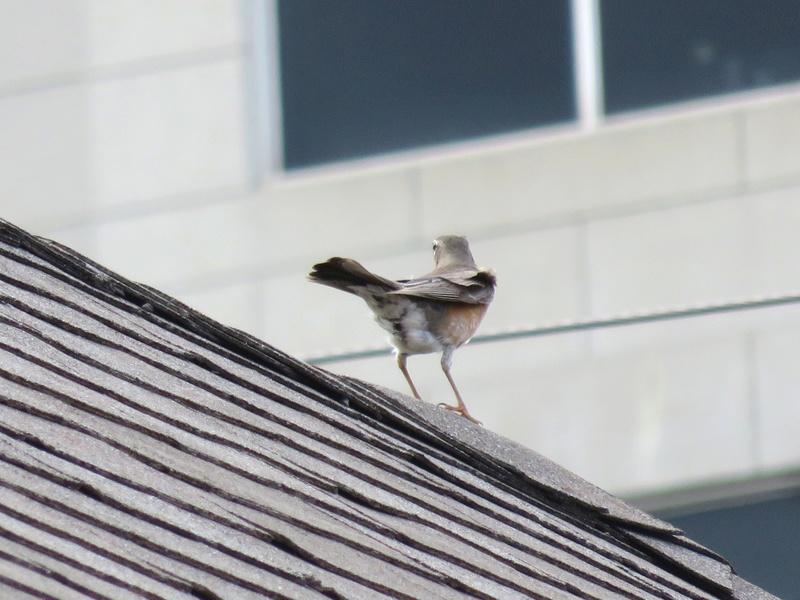 Merle d'Amérique vu sur un toit d'un triplex  2017-161