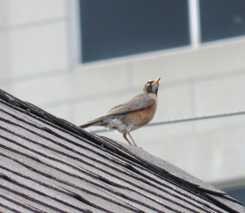 Merle d'Amérique vu sur un toit d'un triplex  2017-162