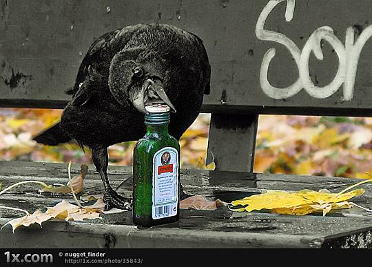 Le corbeau n'a pas une cervelle de moineau  074-an10