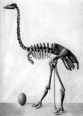 Les animaux disparus-espèces éteintes du fait de l'homme et son mode de vie Aepyor10