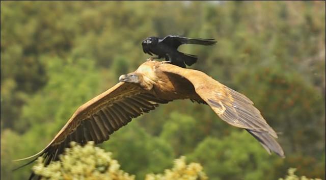 Le corbeau n'a pas une cervelle de moineau  Crowon10