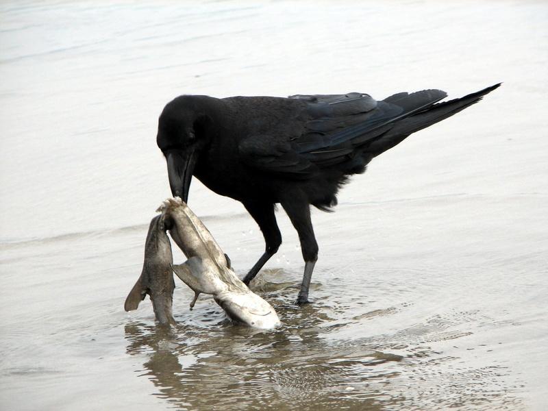 Le corbeau n'a pas une cervelle de moineau  Jungle10