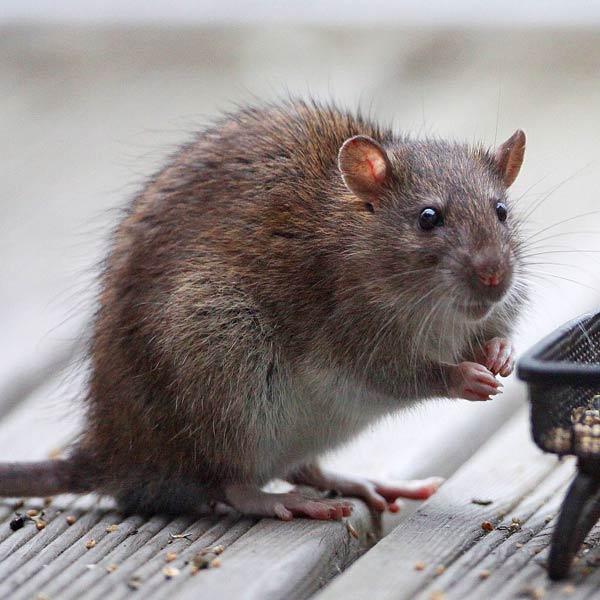 Notre ami raton Rat-3010