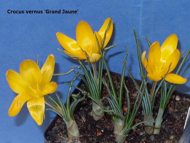 Schwertliliengewächse: Iris, Tigrida, Ixia, Sparaxis, Crocus, Freesia, Montbretie u.v.m. - Seite 14 Crocus10