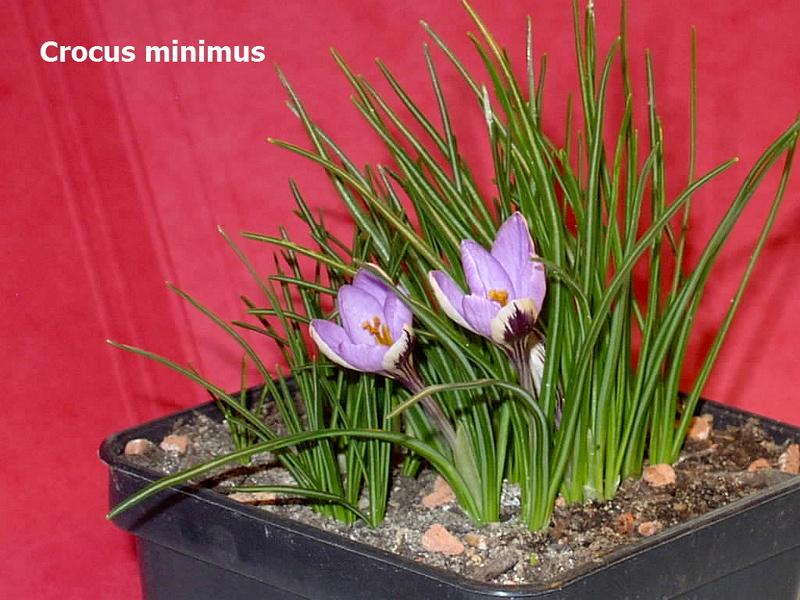 Schwertliliengewächse: Iris, Tigrida, Ixia, Sparaxis, Crocus, Freesia, Montbretie u.v.m. - Seite 14 Crocus11