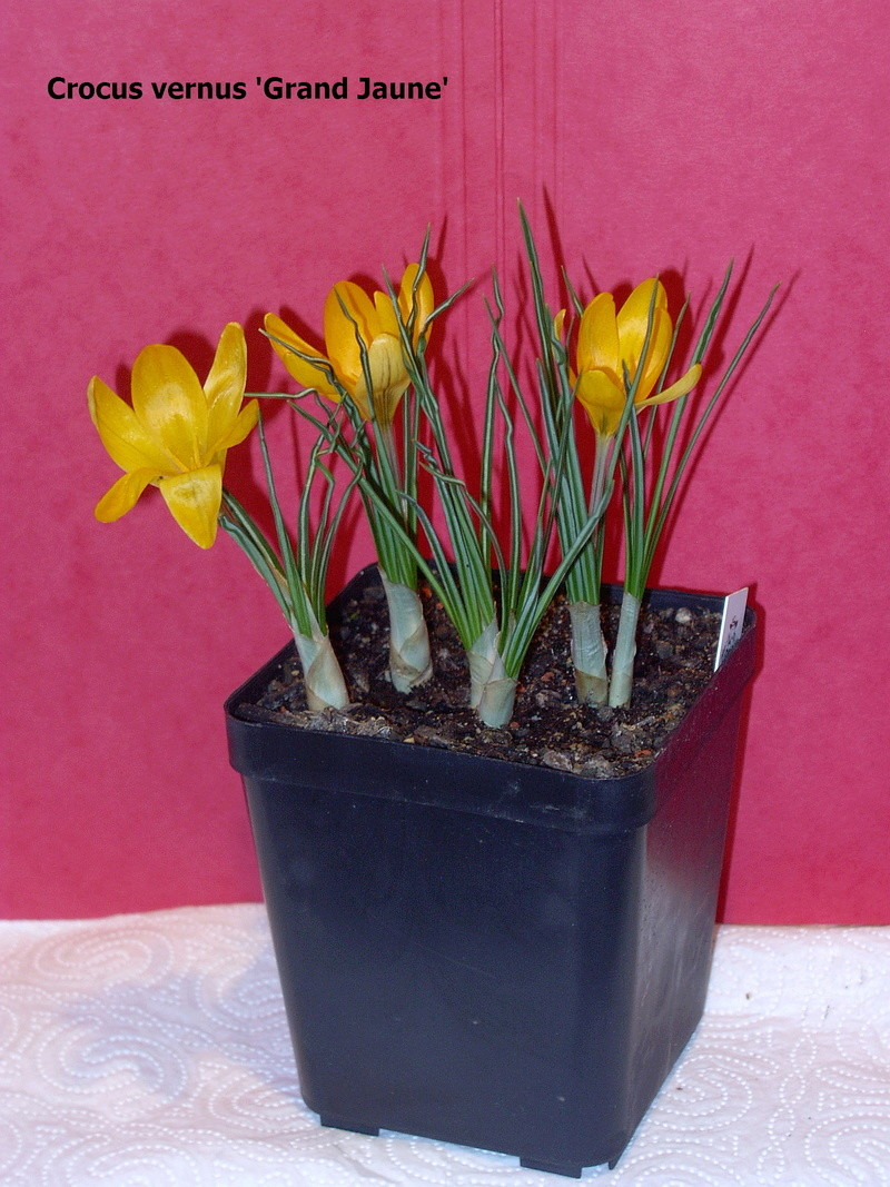 Schwertliliengewächse: Iris, Tigrida, Ixia, Sparaxis, Crocus, Freesia, Montbretie u.v.m. - Seite 14 Crocus12