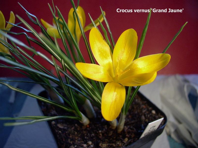 Schwertliliengewächse: Iris, Tigrida, Ixia, Sparaxis, Crocus, Freesia, Montbretie u.v.m. - Seite 14 Crocus13