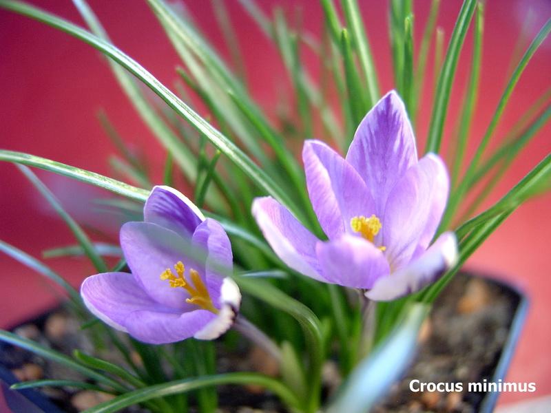 Schwertliliengewächse: Iris, Tigrida, Ixia, Sparaxis, Crocus, Freesia, Montbretie u.v.m. - Seite 14 Crocus15