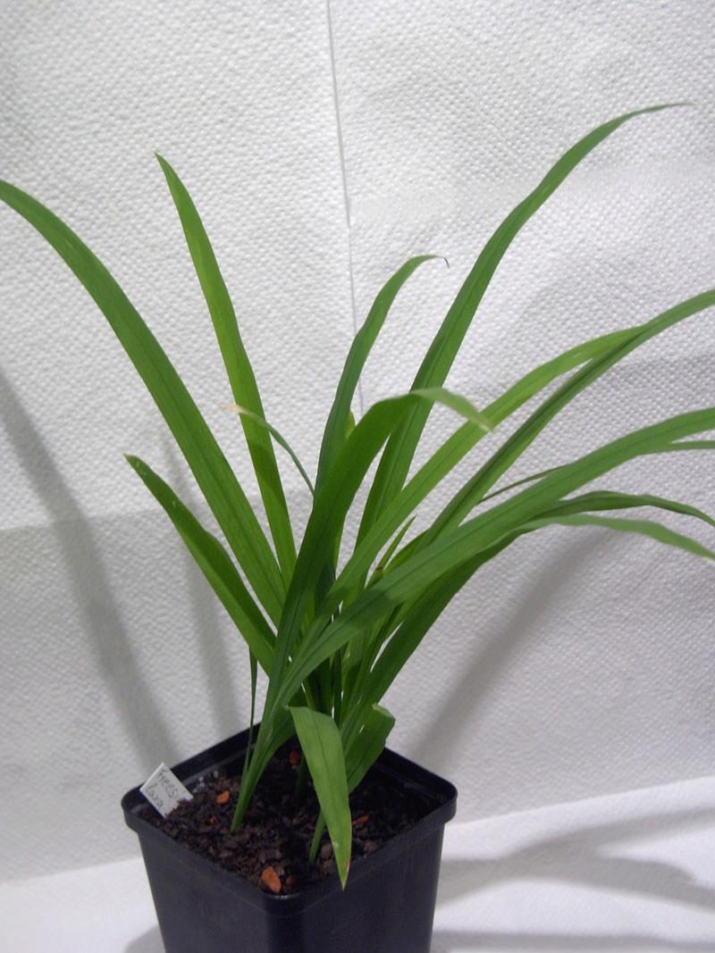 Schwertliliengewächse: Iris, Tigrida, Ixia, Sparaxis, Crocus, Freesia, Montbretie u.v.m. - Seite 15 Img_0010