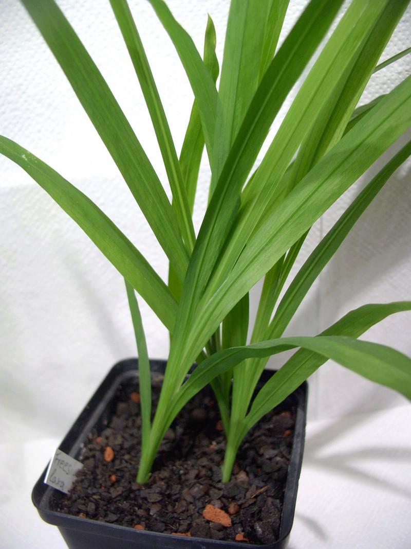 Schwertliliengewächse: Iris, Tigrida, Ixia, Sparaxis, Crocus, Freesia, Montbretie u.v.m. - Seite 15 Img_0011