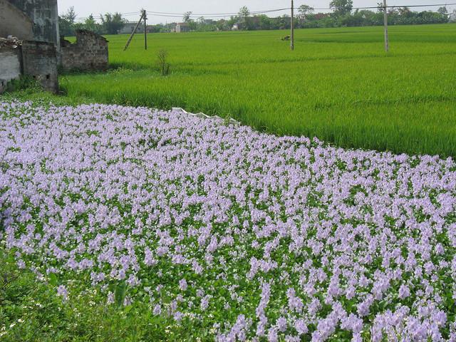 Ngắm thảm hoa lục bình trên đồng quê 14060710
