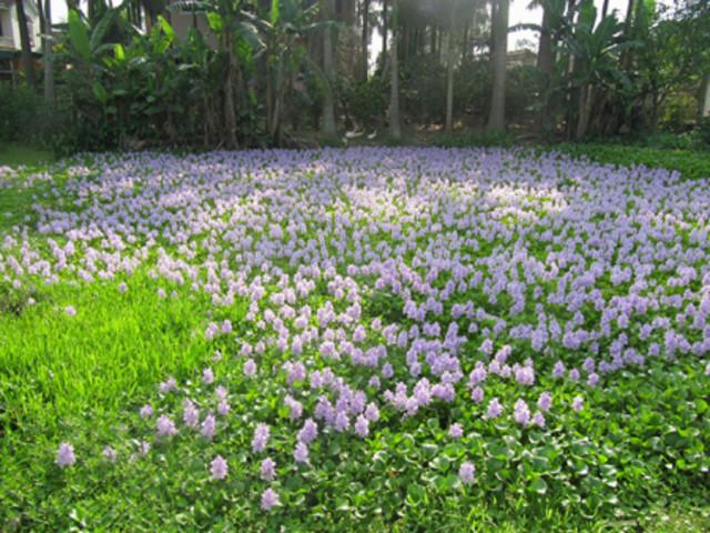 Ngắm thảm hoa lục bình trên đồng quê 217