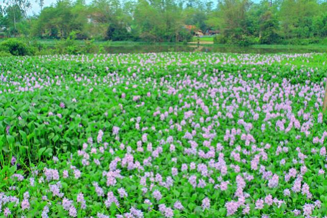 Ngắm thảm hoa lục bình trên đồng quê 43781_10