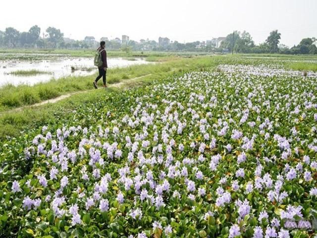 Ngắm thảm hoa lục bình trên đồng quê Hoa_la10