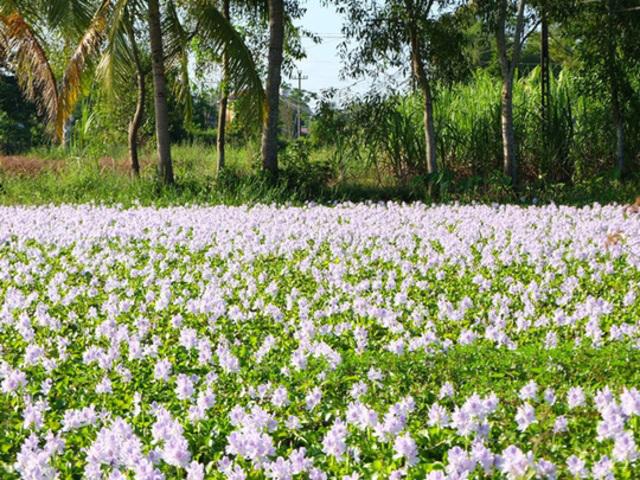 Ngắm thảm hoa lục bình trên đồng quê Oie_7219
