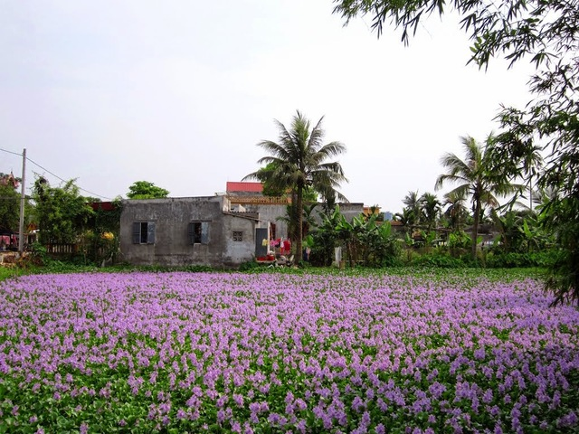 Ngắm thảm hoa lục bình trên đồng quê Oie_8011