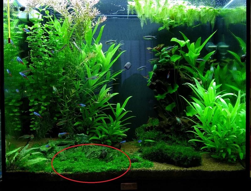 algues filamenteuse sur plante gazonnante 310