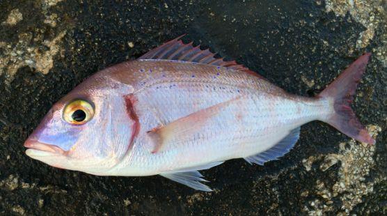 RIBA - MORSKA i SLATKOVODNA: vrste, zanimljivosti, pitanja, ribolov, recepti za pripremu... - Page 20 Arbun10