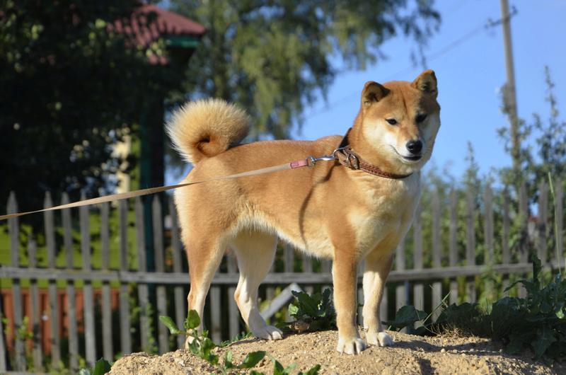 Прошу оценить щенка - Страница 6 _dsc0510