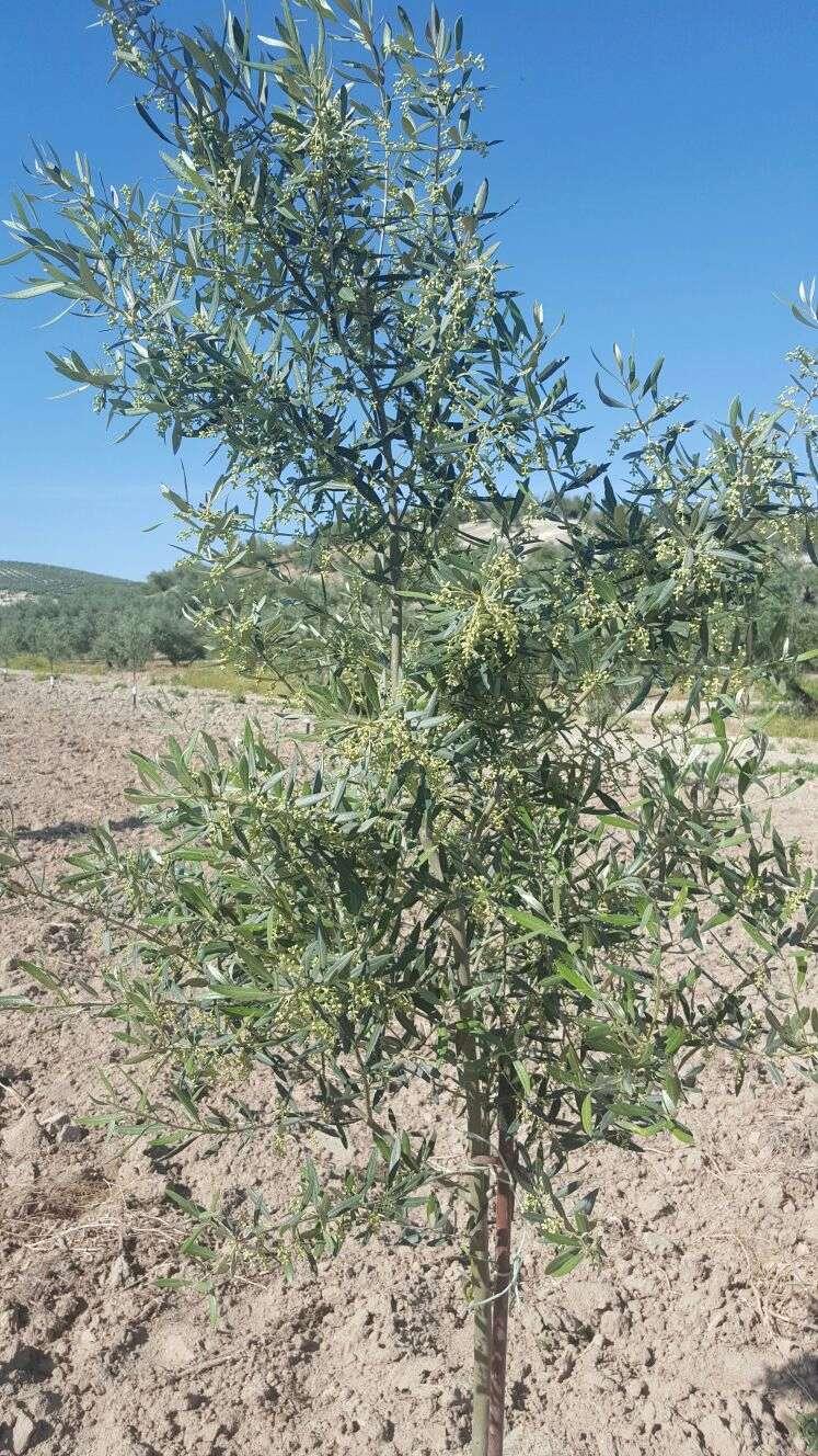 Crecimiento de plantones olivo - Página 10 Img-2010