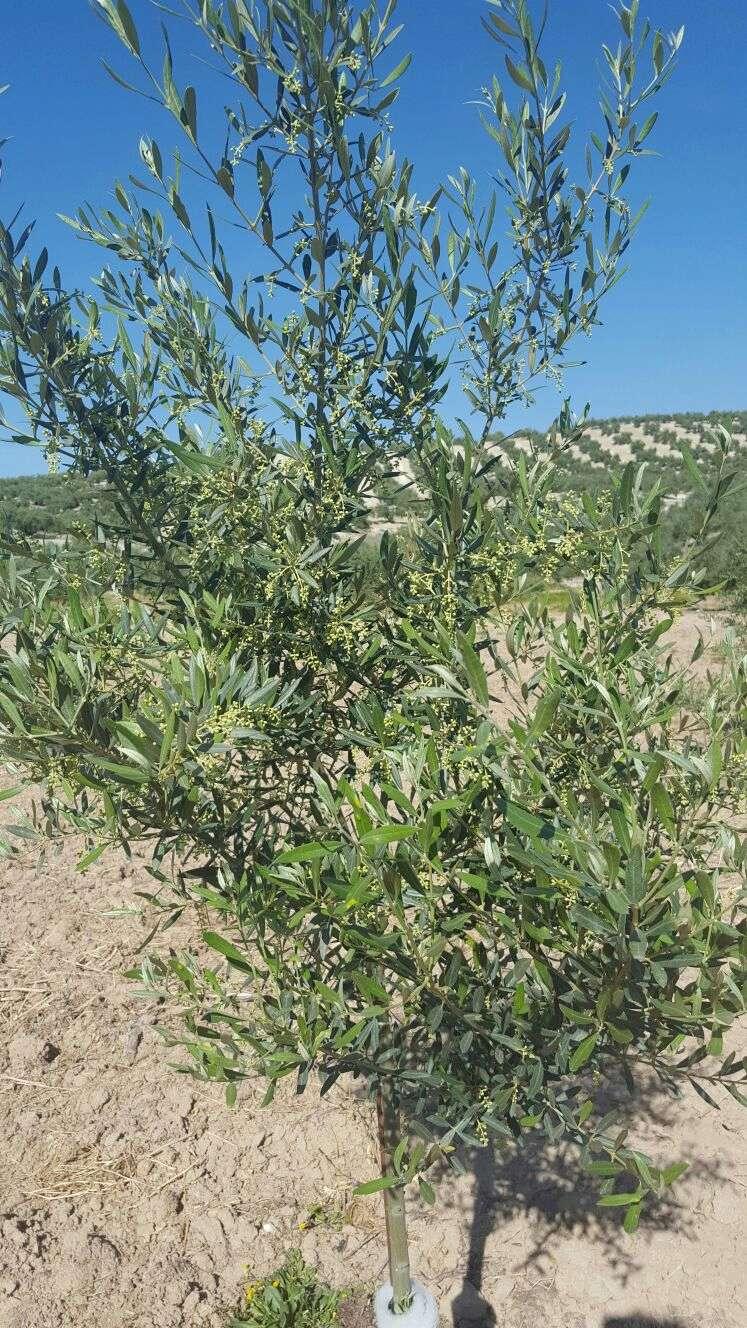 Crecimiento de plantones olivo - Página 10 Img-2011
