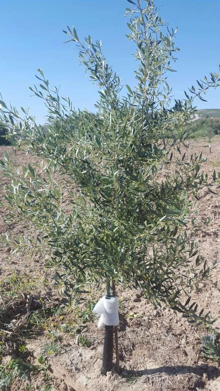 Crecimiento de plantones olivo - Página 10 Img-2012